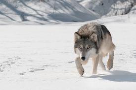 image of lupus  - Grey Wolf  - JPG