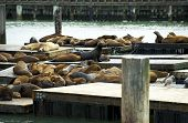 Sea Lions In Harbor