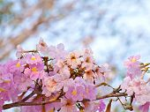picture of trumpet flower  - Pink trumpet tree flower blooming in valentine - JPG