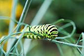 Caterpillar Butterfly Papilio Machaon