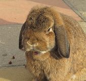 foto of mini lop  - Mini lop rabbit eating flowers in garden