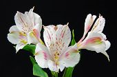 lilies on a black background