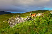 Young Deer In The Meadow At Scottish Highlands