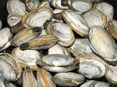 Steamed Ipwich clams