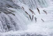 stock photo of spawn  - Salmon Jumping Up the Brooks Falls at Katmai National Park Alaska