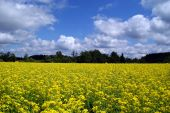 picture of oleifera  - Blossoming rapeseed field on a sunny day with some clouds - JPG