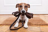 stock photo of begging  - dog with leather leash waiting to go walkies - JPG
