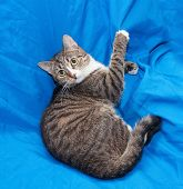 stock photo of heartwarming  - Striped cat lying on chair scratching upholstery on blue background - JPG
