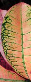 pic of croton  - Bright green veins standout against redish leaves of a Croton - JPG