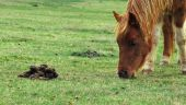 Brown  Pony Eating Grass Next To Poop