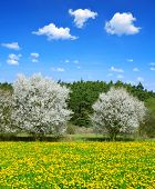 Blooming trees on spring meadow with dandelions