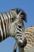 Plains Zebra Portrait, South Africa