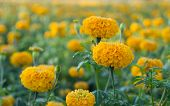 Blossom of Marigold flowers on a marigold farm in Thailand