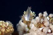 image of damselfish  - pale damselfish taken in the Red Sea - JPG