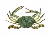 image of blue crab  - Blue swimmer crab isolated on white background - JPG