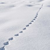 image of animal footprint  - Animal traces in the snow - JPG
