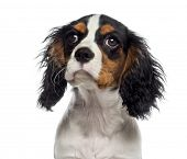 Headshot of a Cavalier King Charles Spaniel puppy (19 weeks old)