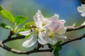 spring blossom of the apple tree with white flowers