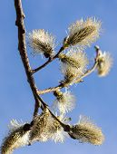 Sprig willow