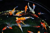 colorful koi fish swimming in the ponds