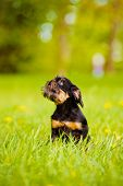adorable brussels griffon puppy