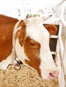 A closeup of beautiful brown and white Holstein cow