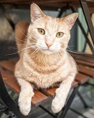 Ginger Tabby Cat On Chair Under Table Looking At Camera