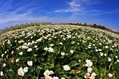 Big pictorial field of large white flowers. Calla lilies in bloom and already faded high green stalk