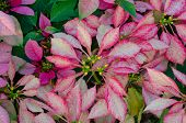 Poinsettia flower (christmas star)