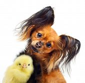 Young toy terrier dog and little chicken on a white background.
