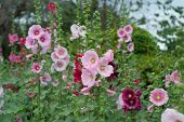 picture of hollyhock  - A garden with vibrant colorful hollyhock flowers - JPG