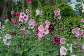 pic of hollyhock  - A garden with vibrant colorful hollyhock flowers - JPG