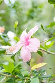stock photo of rose sharon  - Close up Hibiscus rosa - JPG