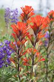 foto of wildflower  - Red Indian Paintbrush Wildflowers Blooming Along Columbia River Gorge in Springtime Closeup Macro