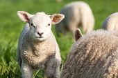 picture of spring lambs  - lamb stay and looking around near a mother lamb - JPG