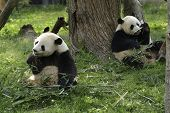 image of panda bear  - Two Giant Panda Bears feeding on bamboo - JPG