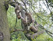 stock photo of macaque  - Group of young barbary macaques playing in a tree - JPG