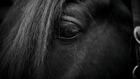 image of stallion  - Eye of a horse. Muzzle of a horse. Stallion. Portrait of a horse. Thoroughbred horse. Beautiful horse.