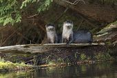 North American River Otters On A Log