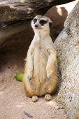 Meerkats In Open Zoo