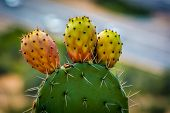 stock photo of prickly pears  - Prickly pear cactus on a sunny day - JPG
