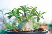 image of desert-rose  - Adenium obesum tree or Desert rose in flowerpot  - JPG
