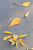 Yellow Fallen Leaves In Frozen Puddle