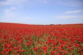 Poppy Field With Blue Sky