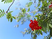 stock photo of rowan berry  - Autumn red rowan berries on a tree - JPG