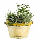 image of washtub  - Close up Fresh Look Herbs and Spices Plant on Washtub Like Pot Isolated on White Background - JPG
