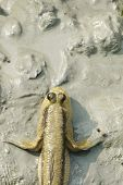 Portrait of a Giant Mudskipper