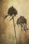 Withered echinacea flowers on grunge background