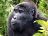 Mountain gorilla in the jungle