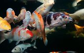 Different colorful koi fishes